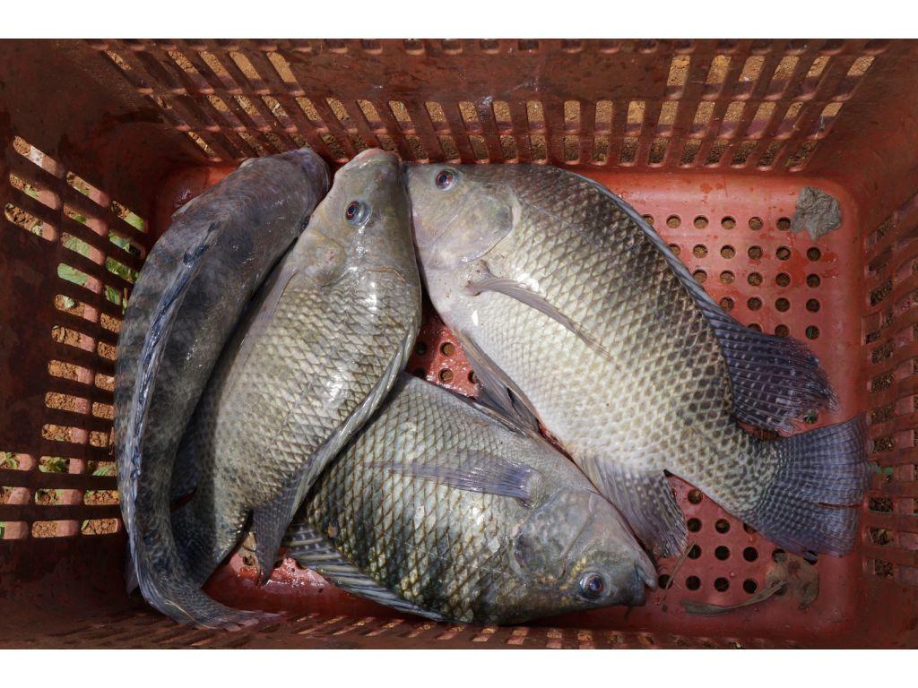 Primeira Turma Encerra o Curso do Programa Municipal de Criação de Peixes - Galeria de Imagens